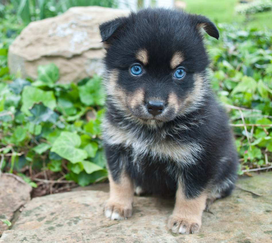 Health Risks that Come with a Pomsky