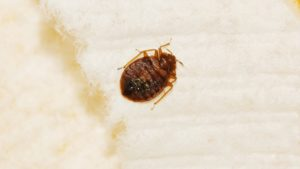 Photo of a bedbug on a white surface