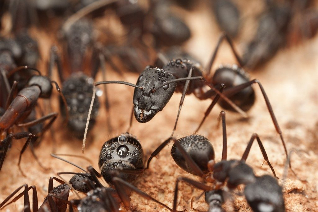 large fire ants
